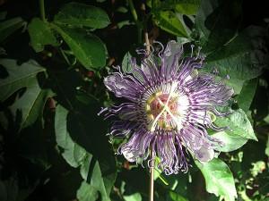 PassifloraLgt